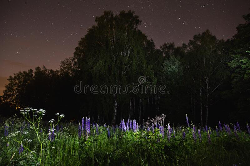 Blue lupines on field. The beautiful night scenery. Slow shutter speed. Spectacular clear starry sky. Scenic view. The light from the lantern on the grass and stock photography
