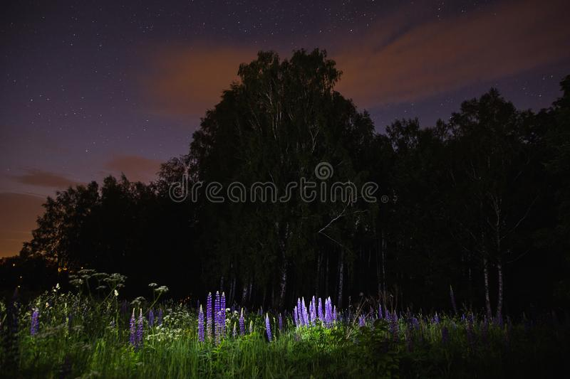 Blue lupines on field. The beautiful night scenery. Slow shutter speed. Spectacular clear starry sky. Scenic view. The light from the lantern on the grass and stock images