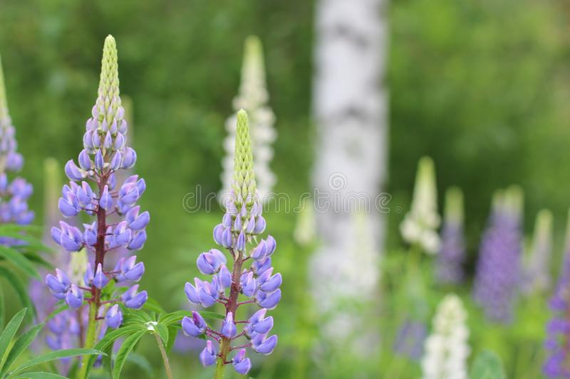 Blue lupins close up. A field of blue lupins with white flowers and a birch tree blurred in the background royalty free stock images