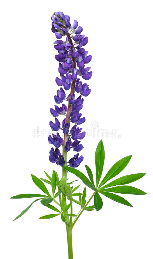 Blue lupinus flower. Isolated on a white background stock image