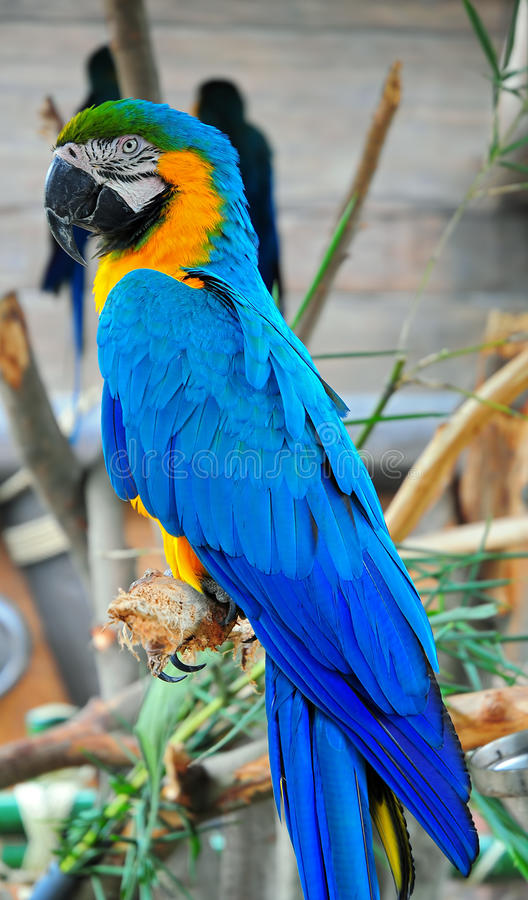 Free Blue Macaw Stock Image - 21318441
