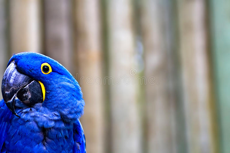 Blue Macaw. To the extreme left of the frame with copy space royalty free stock images