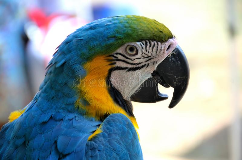 A blue and gold macaw bird against a soft bokeh backdrop stock photography