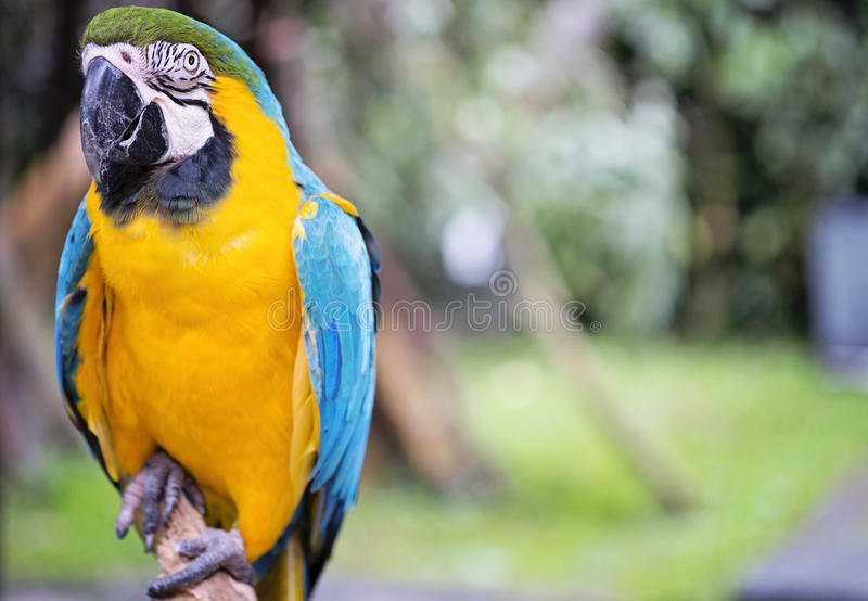 Blue macaw. A blue macaw bird on a branch royalty free stock photography