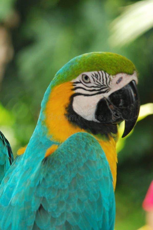 blue macaw bird portriat stock photo