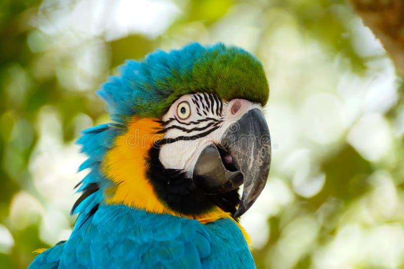 Blue Macaw bird stock image