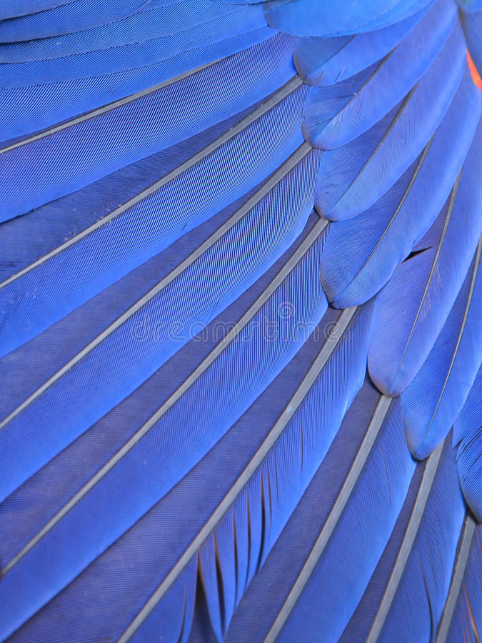 Blue macaw feathers. Background or texture royalty free stock photo