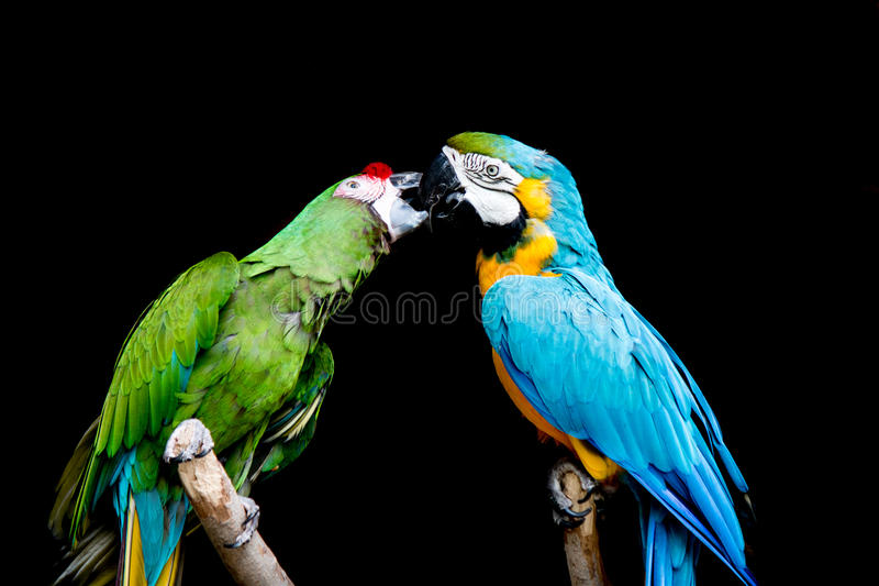 Blue Macaw and Green Military Macaw stock photo