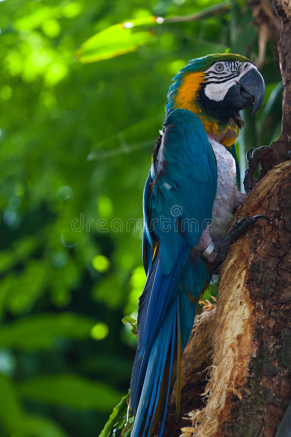 Blue Macaw in the in the Jardin Botanique de Deshaies. Guadeloupe island stock photography