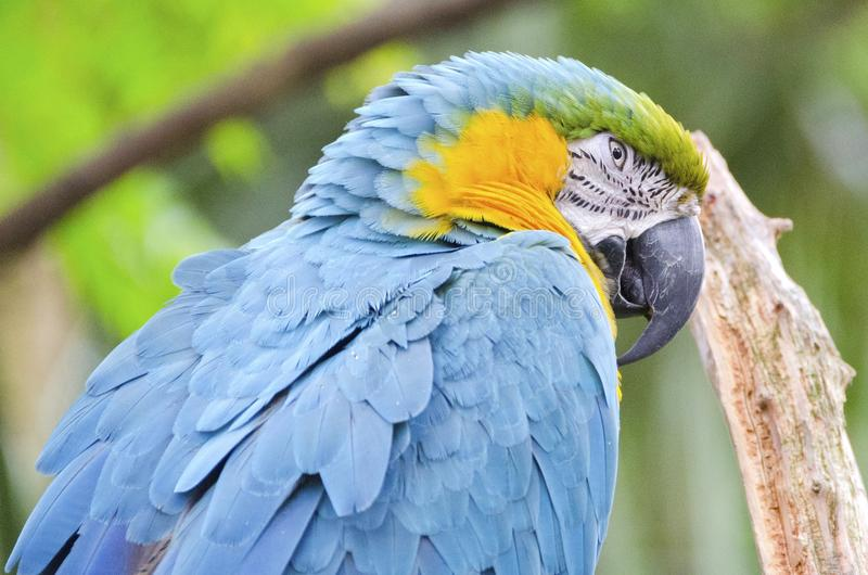 Blue Macaw Parrot. A bue and gold macaw parrot, Ara ararauana stock image