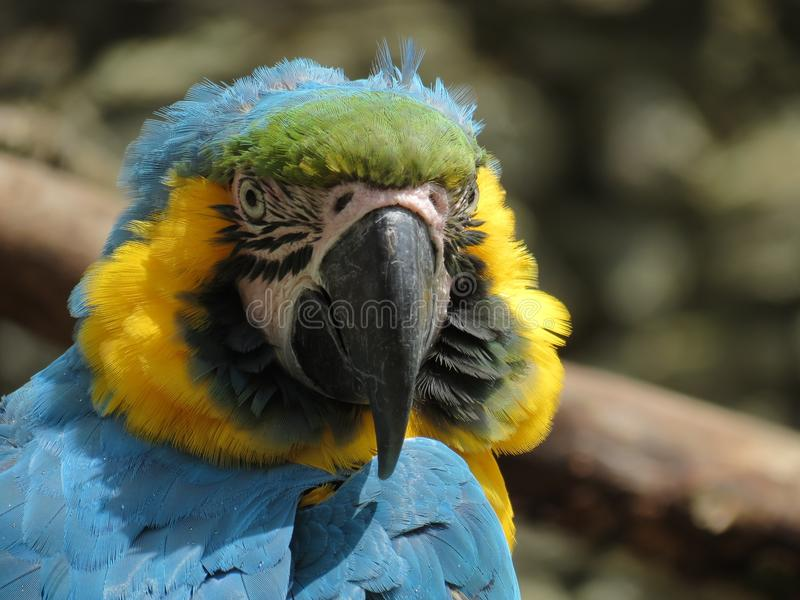 Blue macaw. Portrait of a blue macaw royalty free stock image
