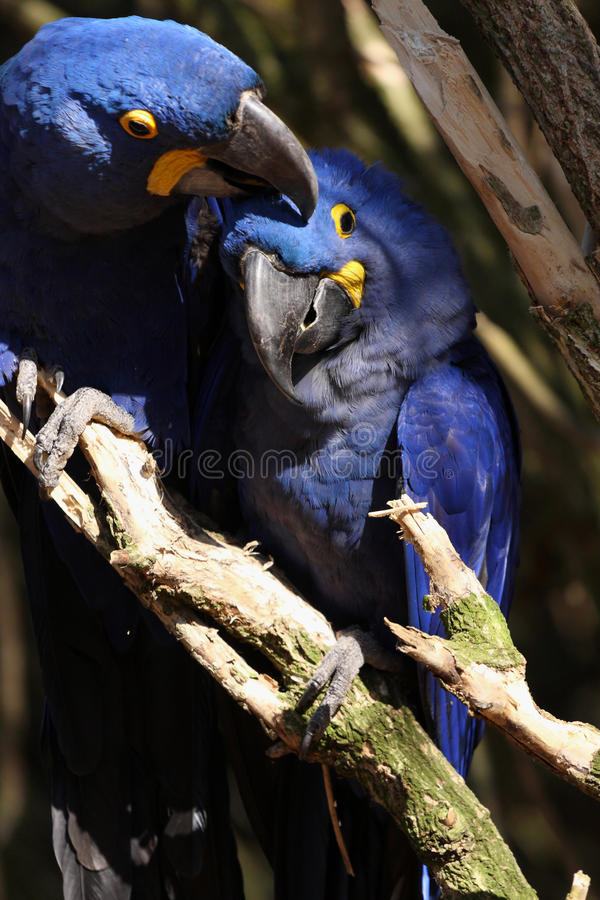 Blue Macaws. A pair of blue Hyacinth Macaws stock photo