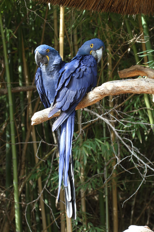 Blue macaws. A pair of blue macaws seting on a limb royalty free stock image