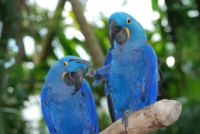Blue macaws stock image