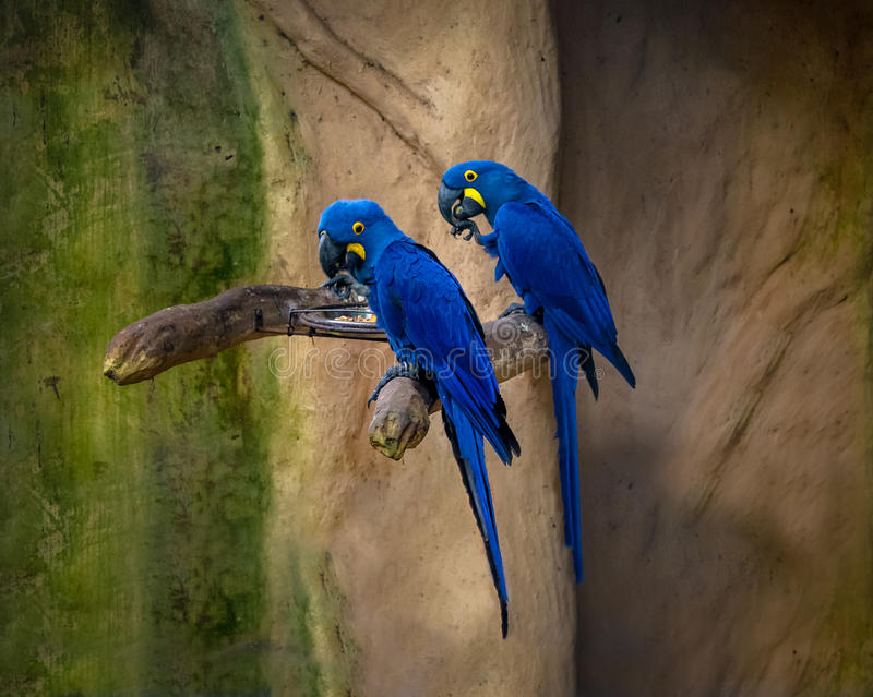 Blue Macaws at Parque das Aves - Foz do Iguacu, Parana, Brazil. Blue Macaws at Parque das Aves in Foz do Iguacu, Parana, Brazil royalty free stock images