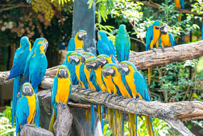 Blue macaws sitting on log with black background. stock images