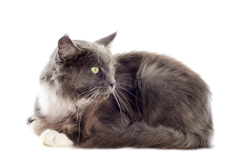 Download Blue maine coon cat stock photo. Image of purebred, maine - 26433996