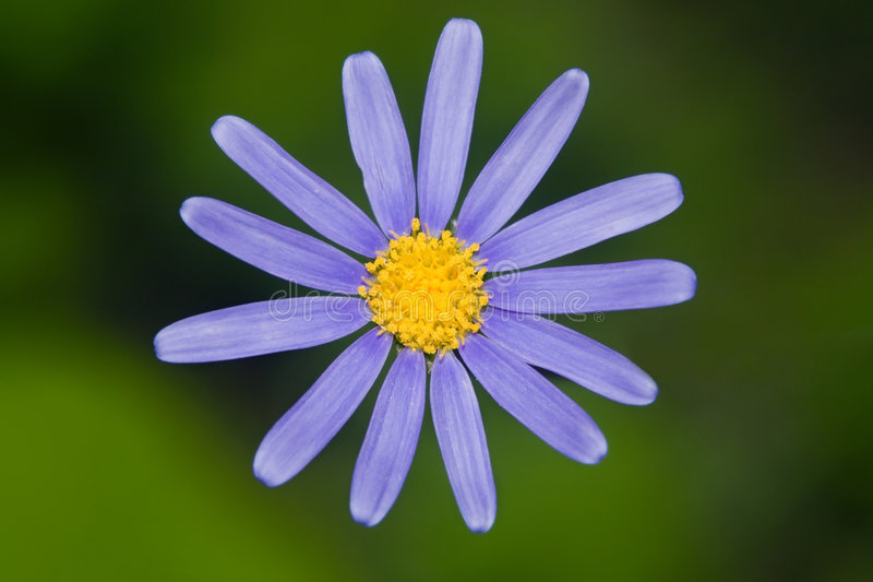 Blue Marguerite. Flower, also called Kingfisher Daisy or blue daisy (felicia amelloides stock images