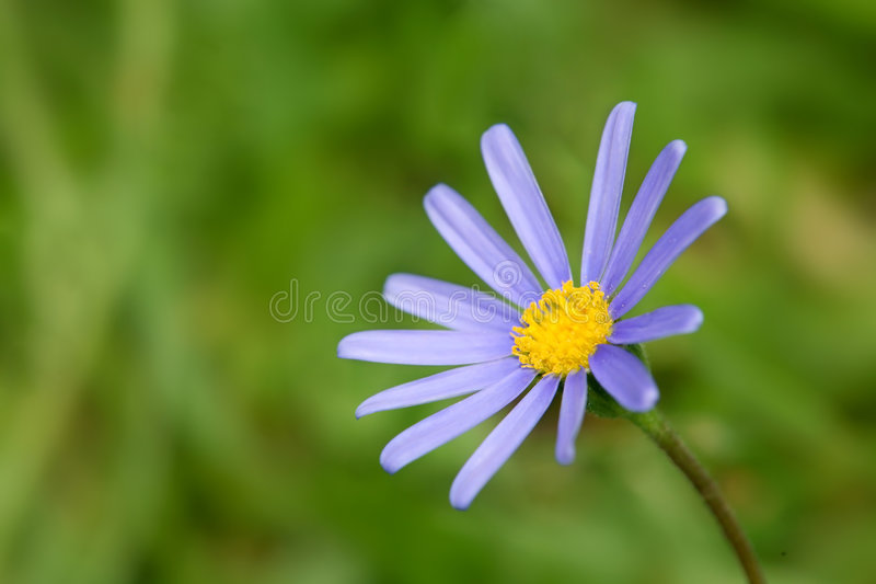 Blue Marguerite 2. Blue Marguerite flower, also called Kingfisher Daisy or blue daisy (felicia amelloides) on a green outdoor background stock images
