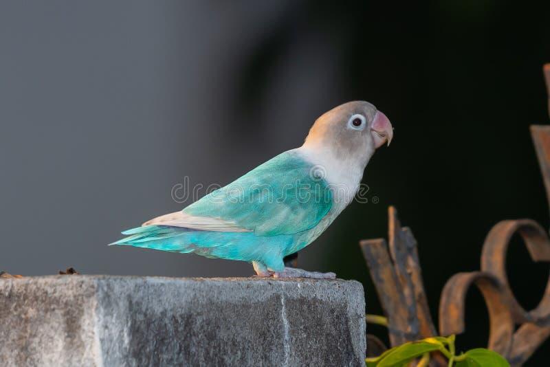 Mask Love Birds Price in Pakistan