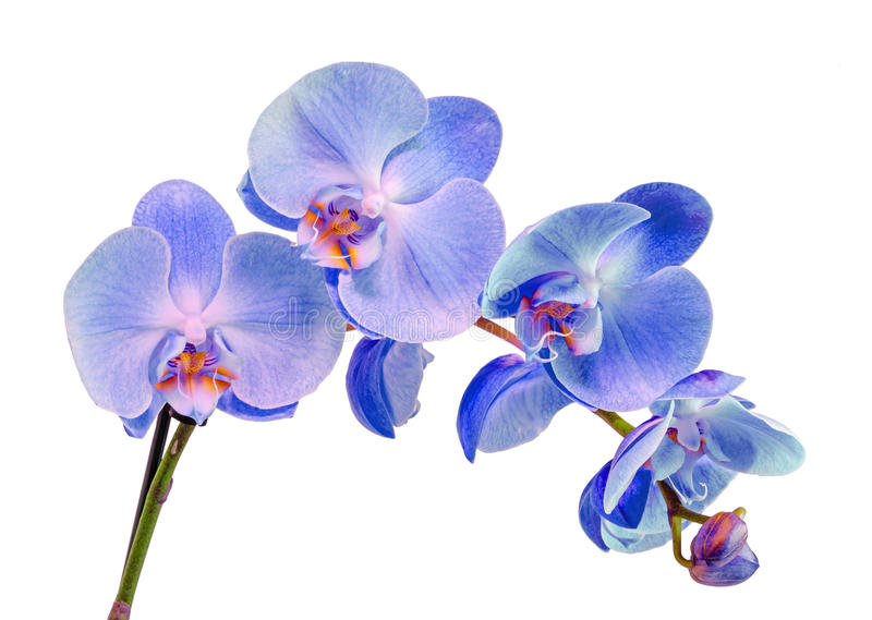 Blue, mauve, violet branch orchid flowers, Orchidaceae, Phalaenopsis known as the Moth Orchid, abbreviated Phal. Close up, isolated, white background royalty free stock photos