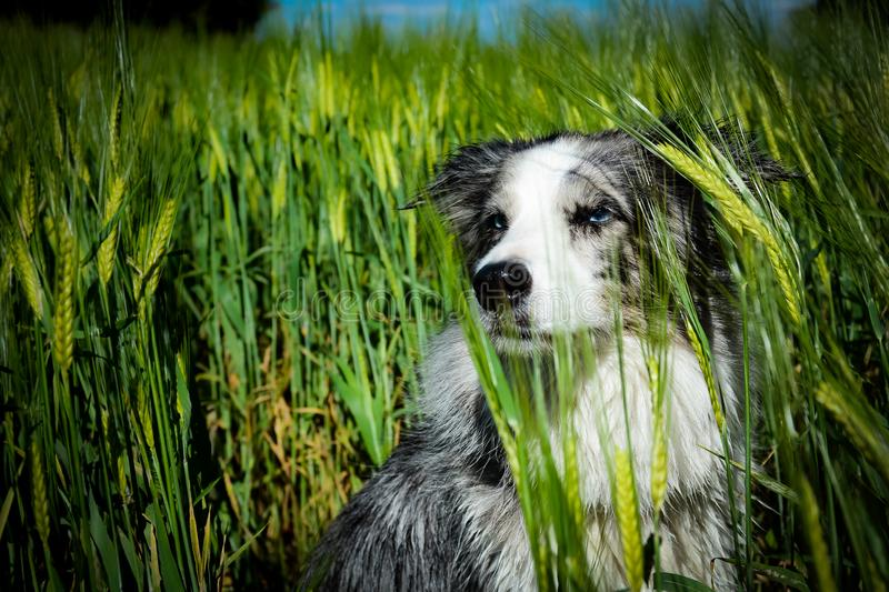 Blue merle border collie dog with blue eyes sitting in the field. Beautiful blue merle border collie dog with blue eyes sitting in the green field stock image