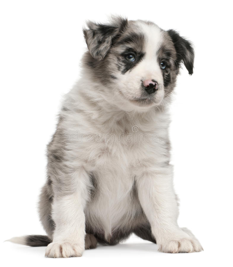 Download Blue Merle Border Collie Puppy, 6 Weeks Old Stock Photo - Image: 18258256