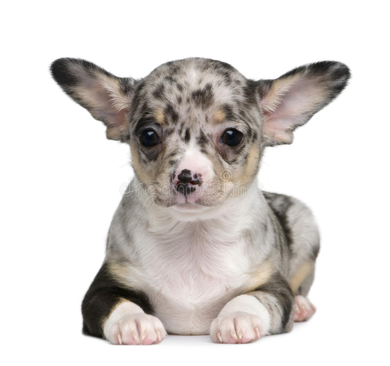 Download Blue Merle Chihuahua Puppy, 8 Weeks Old Stock Photo - Image of mammal, looking: 13667004