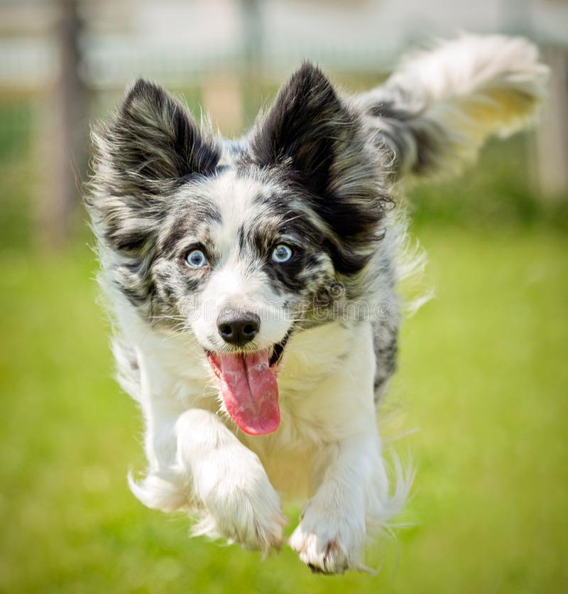 Free Blue Merle Collie Dog Action Stock Images - 107756674