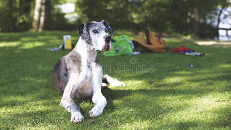 Blue Merle Great Dane royalty free stock photos