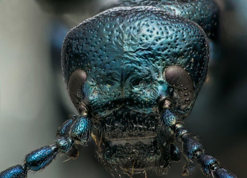 Blue metallic bug macro head shot royalty free stock image