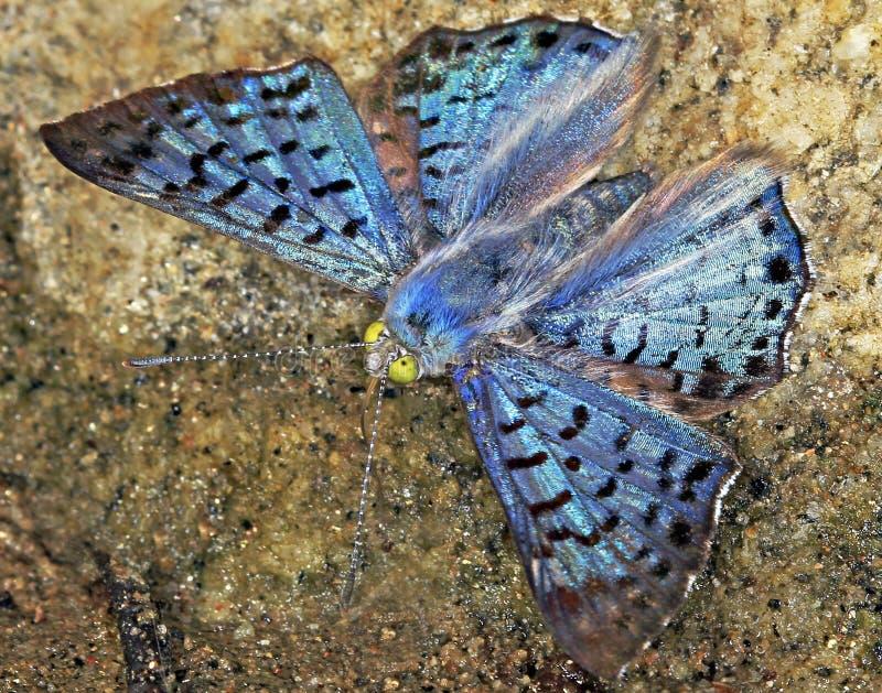 Blue Metalmark Butterfly. Striking, metallic blue butterfly in the jungle near Yelapa, Mexico royalty free stock image
