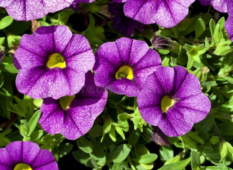Blue Miniature Trailing Petunia stock image