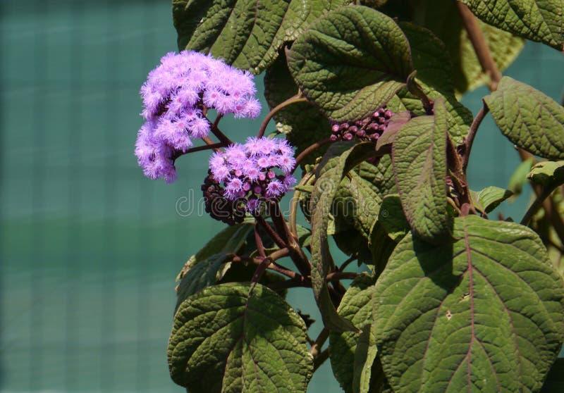 Blue Mist Flower or Bartlettina sordida royalty free stock photography