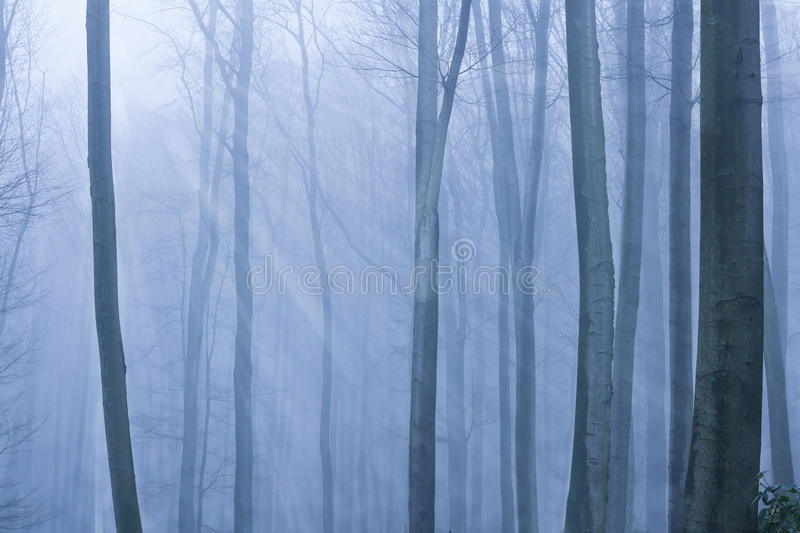 Blue misty forest royalty free stock image
