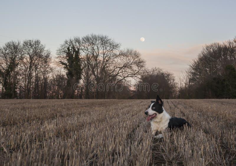Blue Moon - azul el border collie foto de archivo libre de regalías