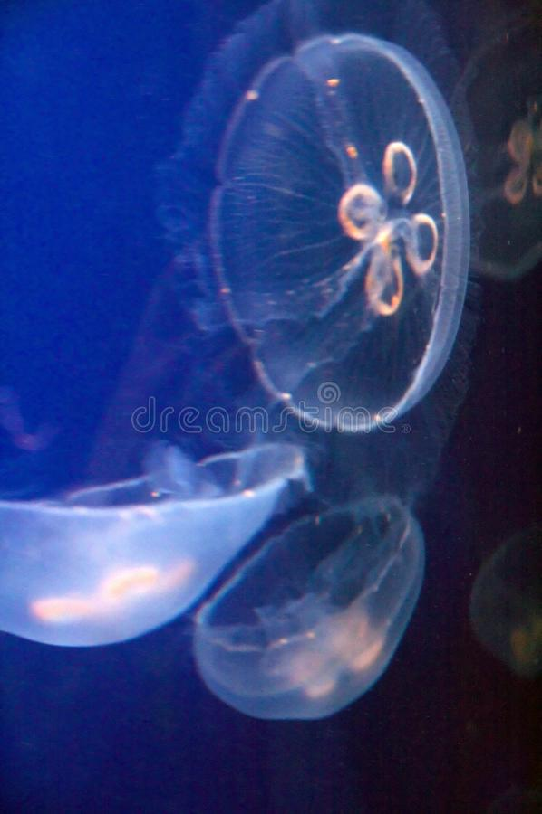 Download Blue Moon Jellyfish stock image. Image of aqua, aurelia - 12212441