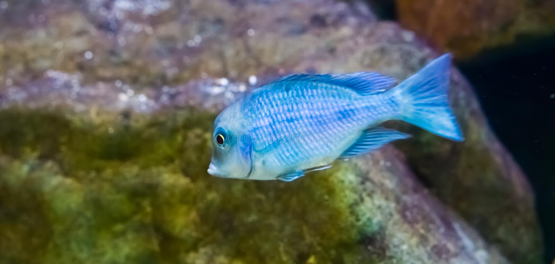 Blue moorii dolphin cichlid fish in closeup, a tropical aquarium pet from the malawi lake. A blue moorii dolphin cichlid fish in closeup, a tropical aquarium pet stock image