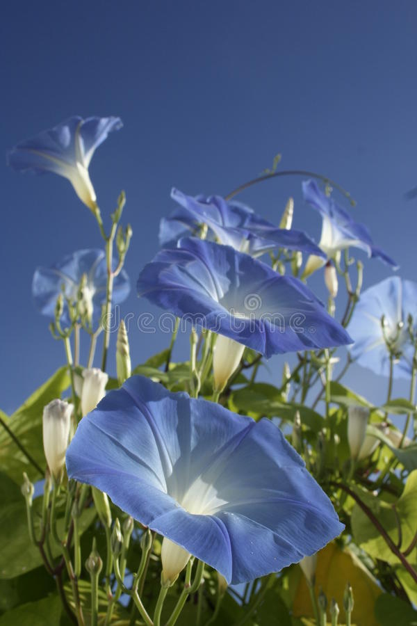 Free Blue Morning Glories Royalty Free Stock Photography - 19154327