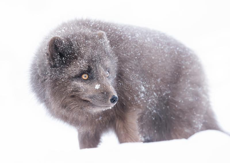 Blue Morph Arctic fox standing in the falling snow. Winter in Iceland stock images
