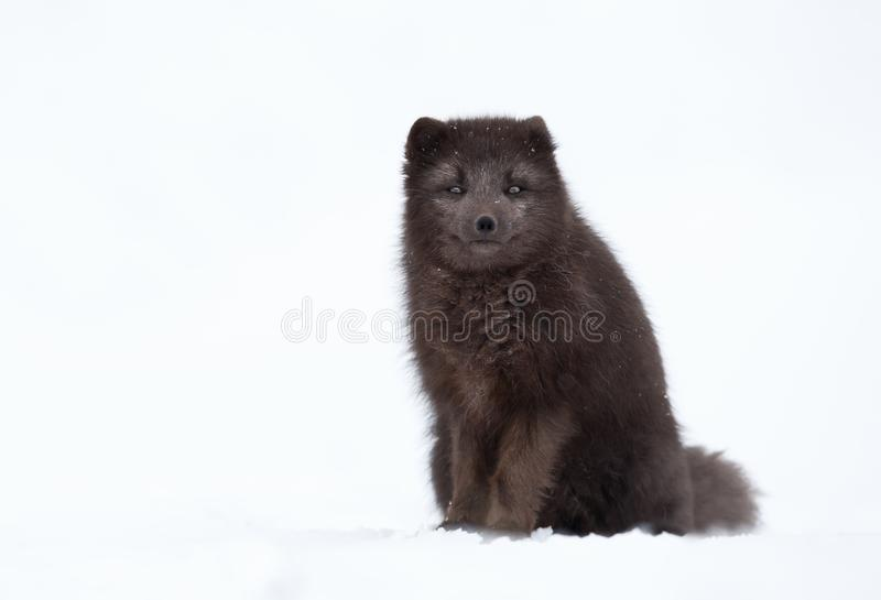 Blue morph arctic fox in winter. Close up of a blue morph arctic fox in winter, Iceland royalty free stock photo