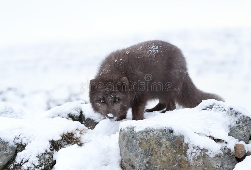 Blue morph arctic fox in winter. Blue morph arctic fox standing on stones in winter, Iceland stock images