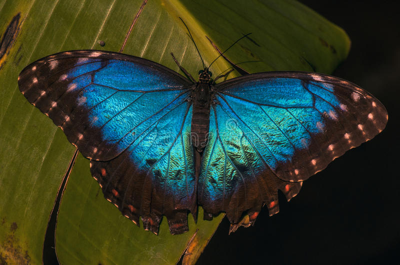 Blue morph butterfly royalty free stock images