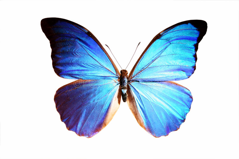 Blue Morpho stock photo