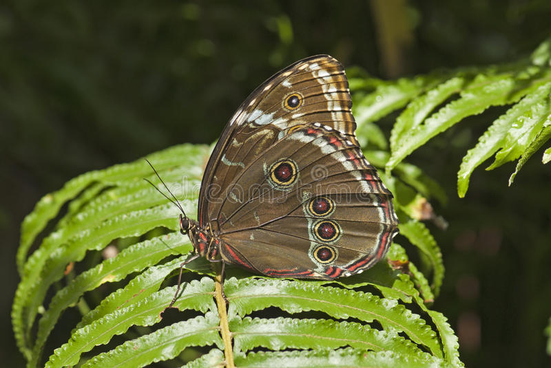 Download Blue Morpho Butterfly Royalty Free Stock Images - Image: 15409499