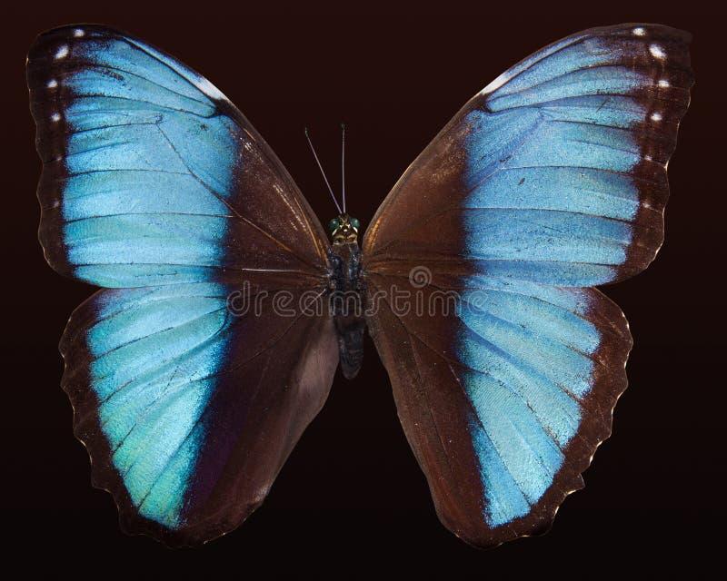 Blue Morpho Butterfly Free Public Domain Cc0 Image