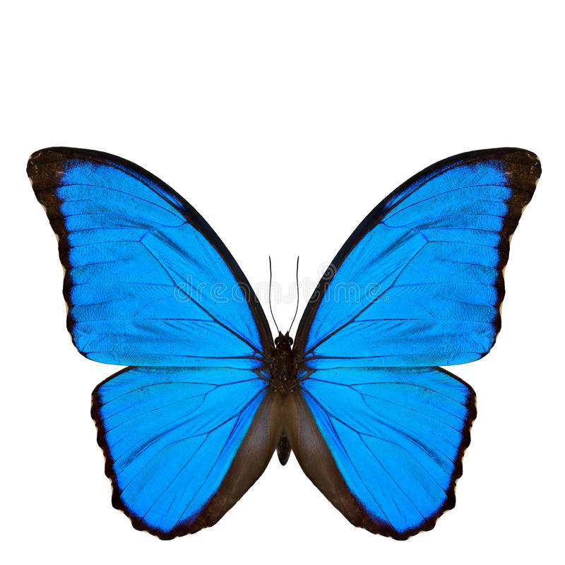 Blue Morpho butterfly (disambiguation) or Sunset Morpho, the beautiful velvet blue butterfly isolated on white background royalty free stock image