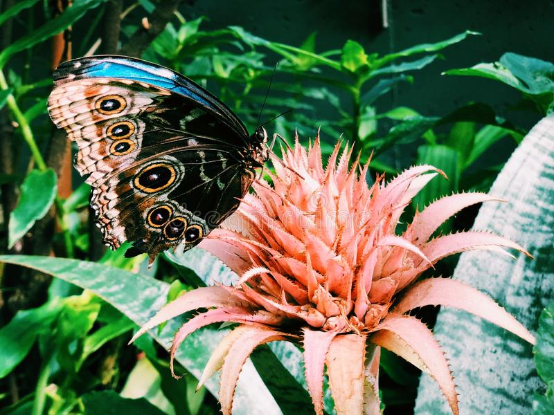 A blue morpho butterfly landing on flower royalty free stock photo