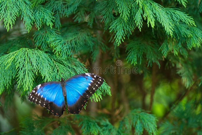 Peleides Blue Morpho butterfly resting on cypress branch royalty free stock photo