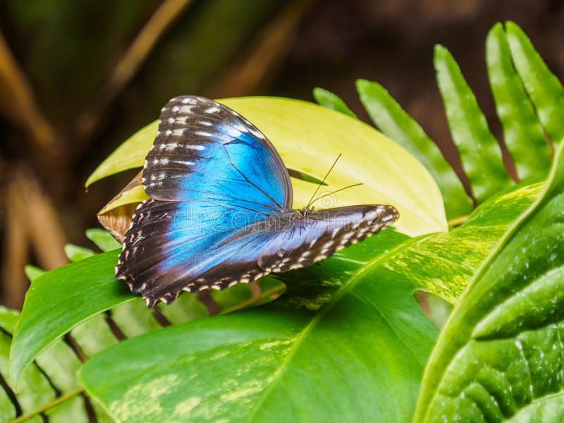 Blue Morpho butterfly with open wings on green leaf royalty free stock photos